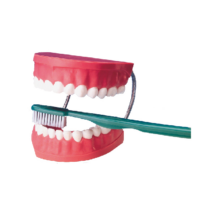 Fogsor  demonstrációs modell+ óriás fogkefe - mulázs